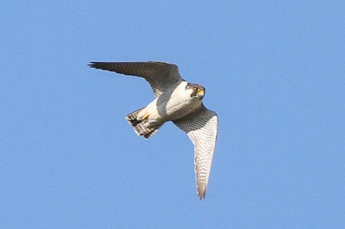 Peregrines are one of the fastest animals on the planet
