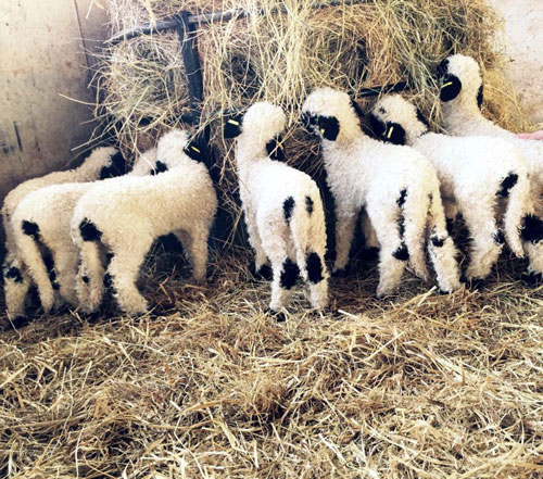 It is the first time this breeding has been used for the Valais Blacknose in Scotland