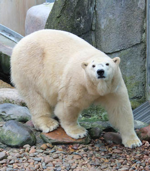 web-2-POLAR_BEAR_VICTORIA_D