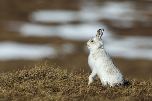 web-Mountain-hare-(1)