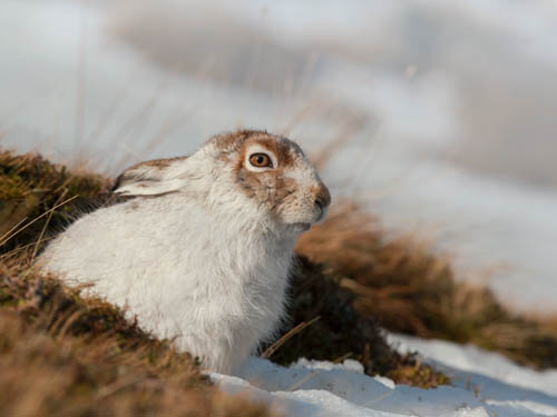 web - Mountain hare (2)