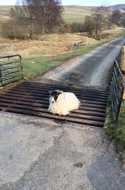 It is not know for how long the runaway ram was stuck - but it was staring wistfully at freedom just a few feet away