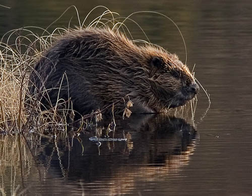 Genetic tests showed the beavers were from Germany, most likely Bavaria. Pic: Per Harald Olsen
