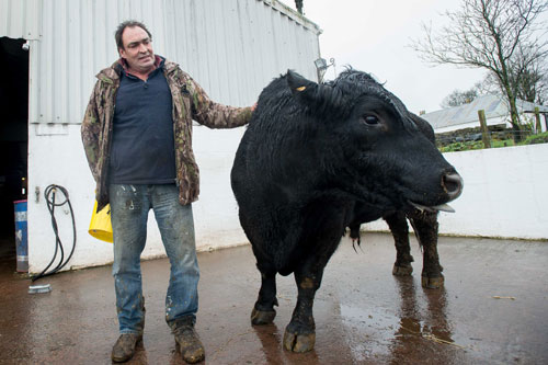 Farmer Willie with the bull which sired the twins