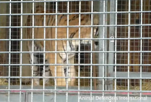 Video taken at the croft by Animal Defenders International shows, they say, evidence of pacing and what appear to be cramped conditions. The local council have, however, given the facilities their approval.
