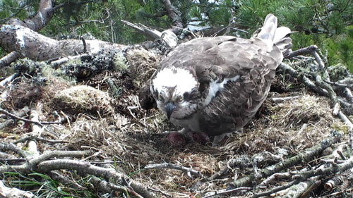 The female osprey has laid a third egg