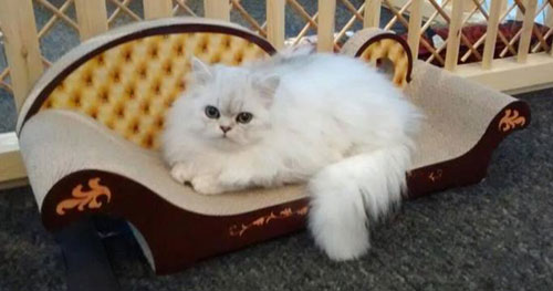 One of the cats at Edinburgh's Maison de Moggy relaxing on a chaise longue