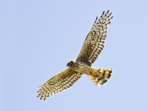 Hen harriers used to be a common sight across Scotland