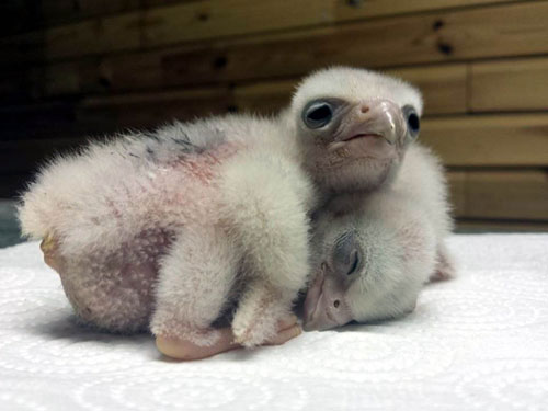The chicks will grow into powerful birds of prey