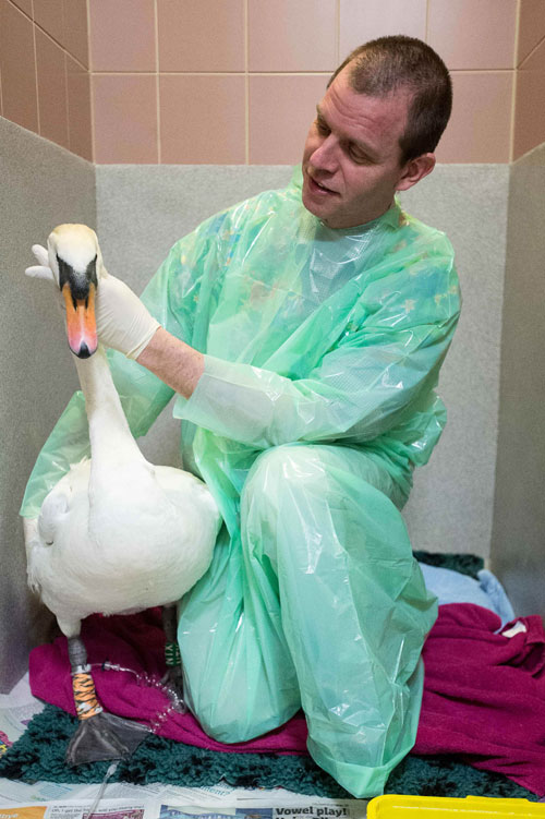 Professor Kevin Eatwell tending to a swan