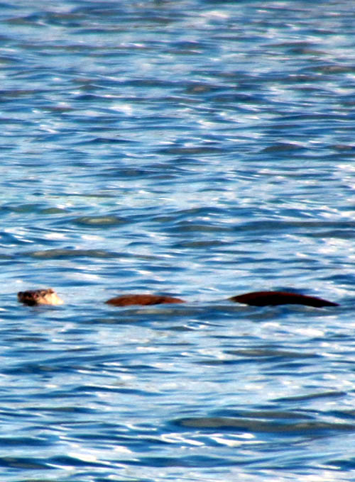 Could this snap of an otter explain many Nessie sightings?