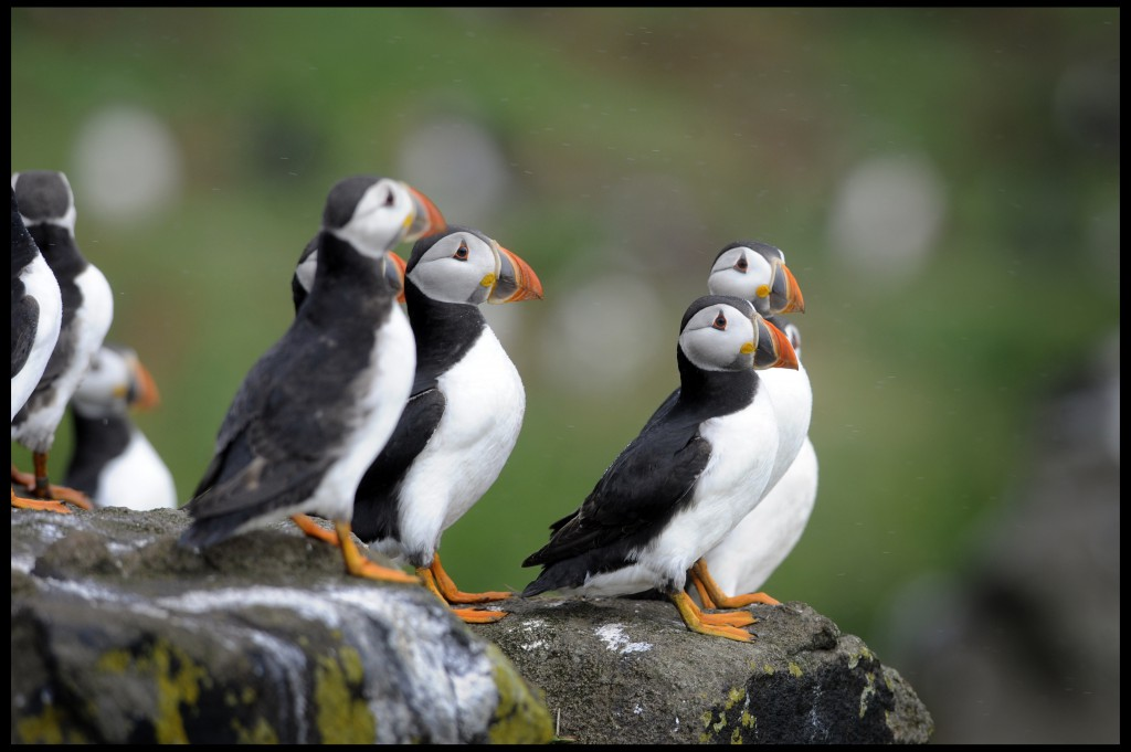 It is feared that puffins will suffer as a result of the wind farms