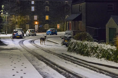 A deer wanders across a snowy street in Minigaff, Dumfries and Galloway, taken by Stephen Jolly