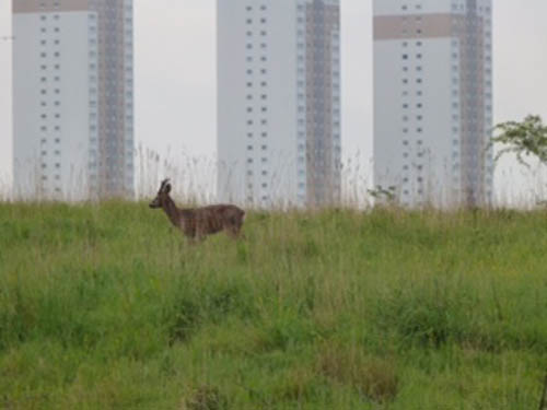 David Docherty's winning picture of a deer near high rise flats in Glasgow