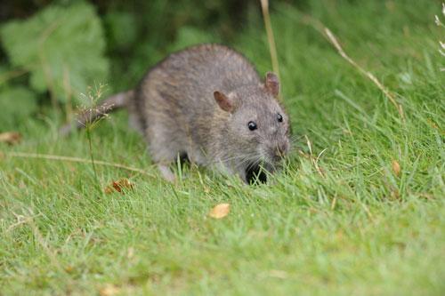 web-RUM_RATS_DN02