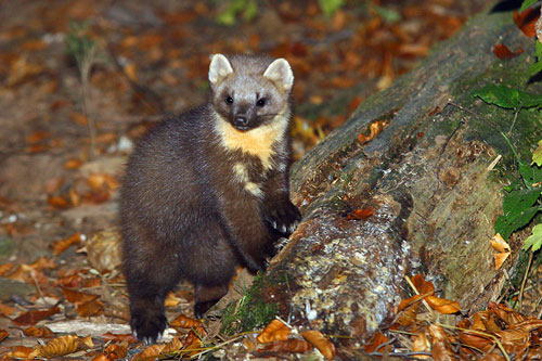 Pine martens are extremely rare in Wales (Picture: Dani Kropivnik)