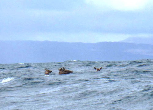 The kayaker was accompanied by five deer
