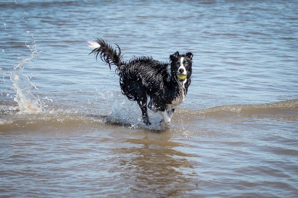 10th June, 2015, Edinburgh. As the summer starts to kick in, locals start to have some fun in the sun. IN PIC.........11 month lld collie bitch, Skye, enjoys the cool water at Portobello beach. (c) Wullie Marr/DEADLINE NEWS For pic details, contact Wullie Marr........... 07989359845