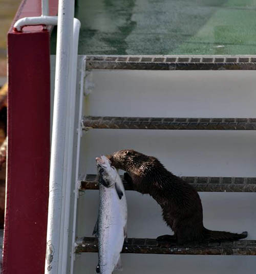 The salmon likely weighed as much as the otter