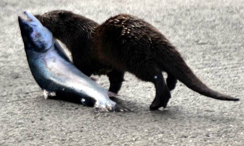 Having escaped the boat with its bounty, the otter scarpered to safety