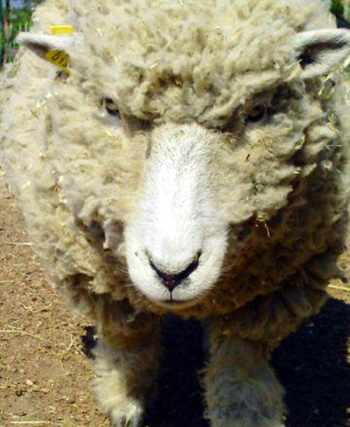 An angry sheep trolled the Olympic champion on Twitter
