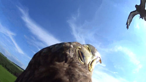 Photographs show the moment the eagle was attacked by a wild buzzard