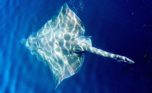 The common skate resembles a sting ray
