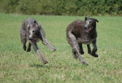 web-Deerhoundy_w_biegu