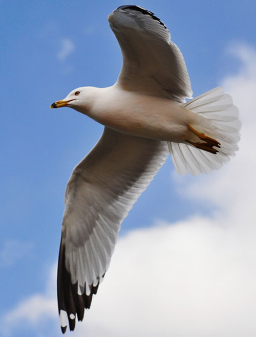 web-Seagull_in_flight_by_Ji