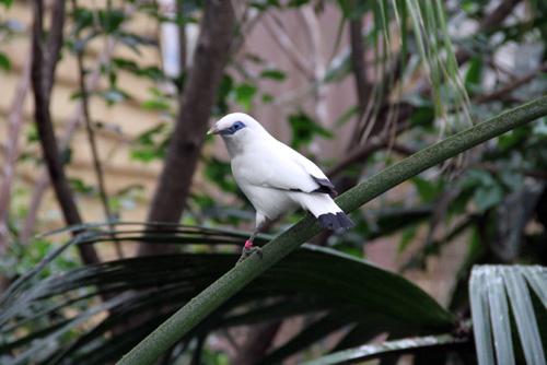 Bali_starling_