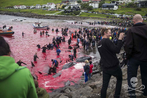 "The sea turns red at the annual ""bloodbath"""