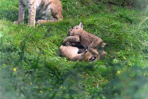RZSSHWP_2015NorthernLynxCubs1_creditAlexRiddell