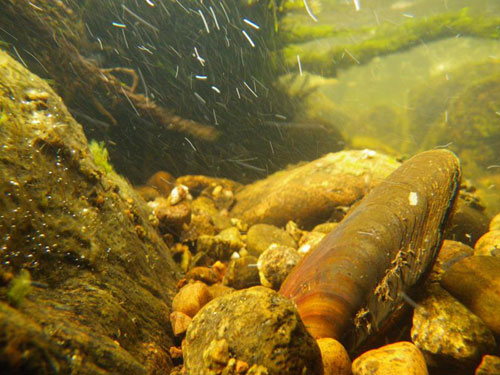 Freshwater pearl mussels in the river