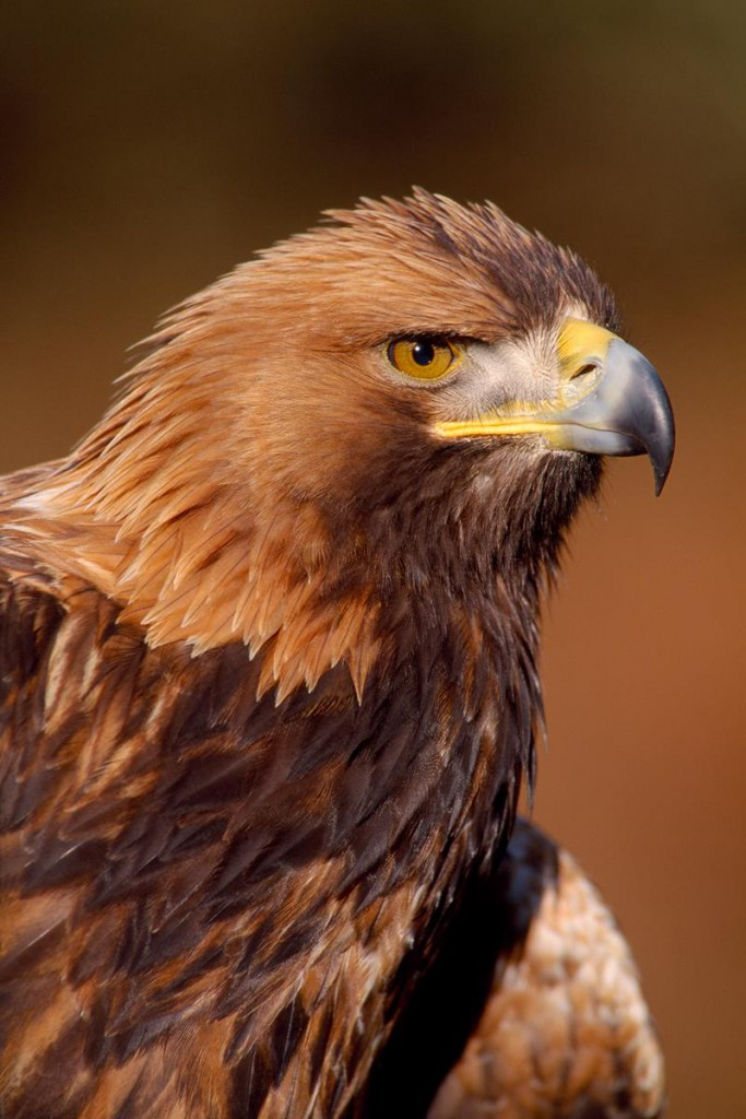 There are no more than two to four pairs of golden eagles in Southern Scotland