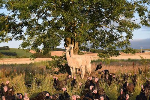 The alpacas watch over the prized turkey flock