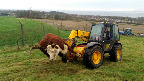 The cow was found at the bottom of a 30-ft embankment