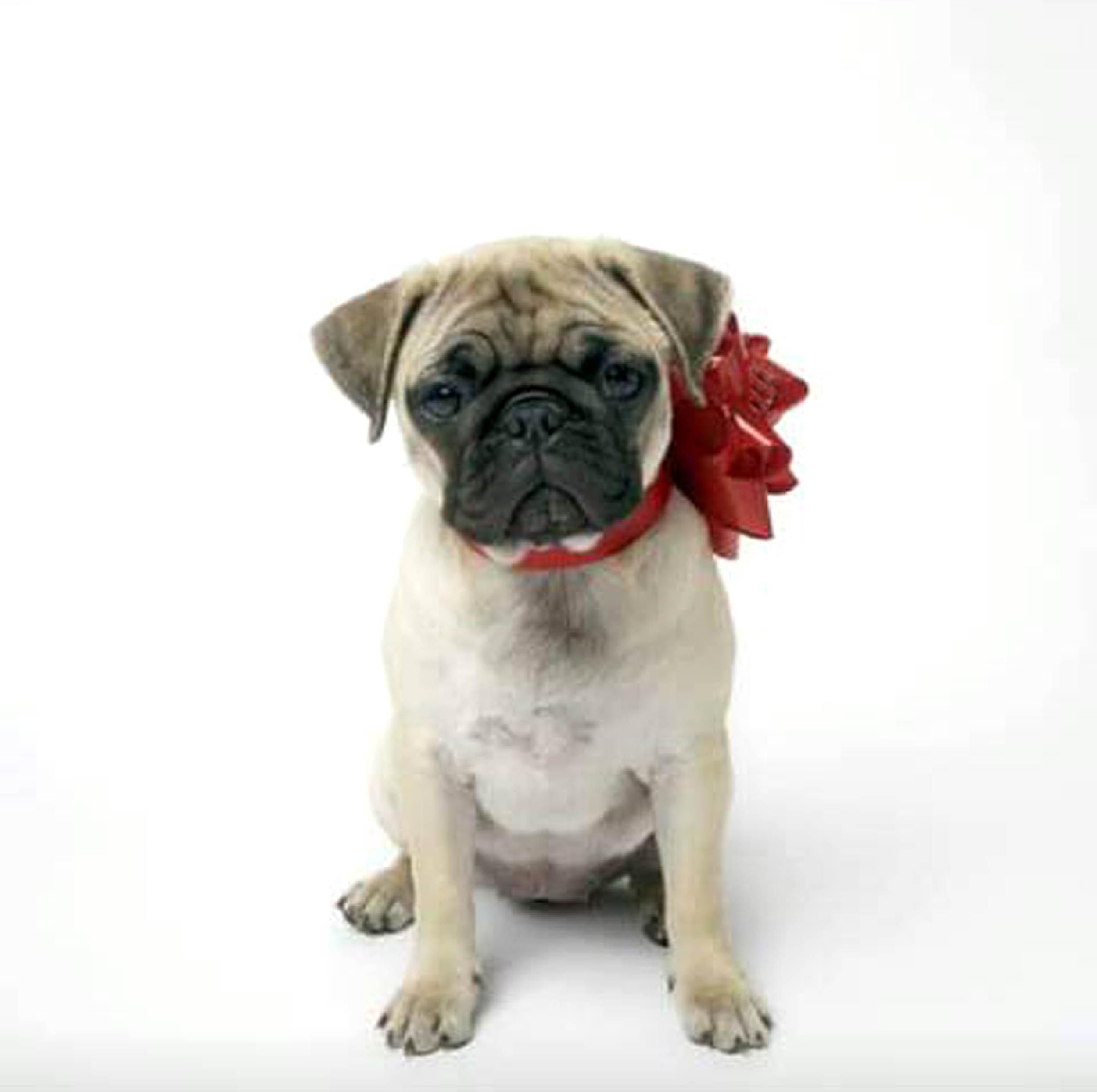 Fantastic Pug Bow Adorable Dog - HOUSE_OF_FRASER_DN02  Pic_422924  .jpg