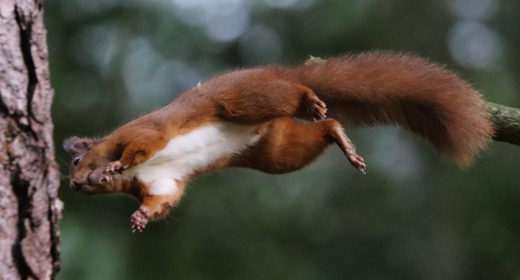 RED_SQUIRREL_ACROBATICS_DN01