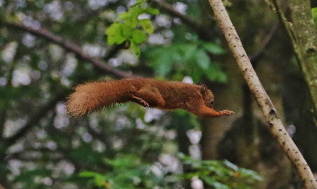 RED_SQUIRREL_ACROBATICS_DN04