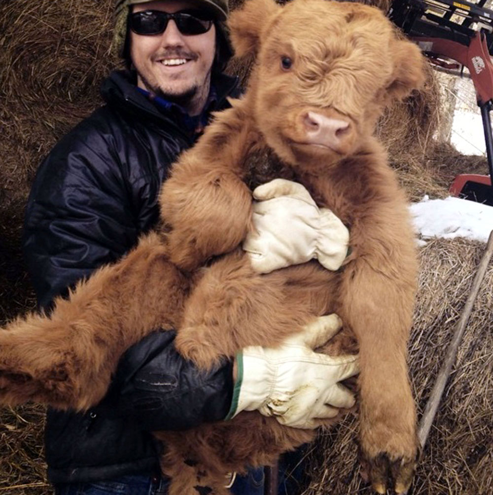 "They say the cows are like ""big babies"""