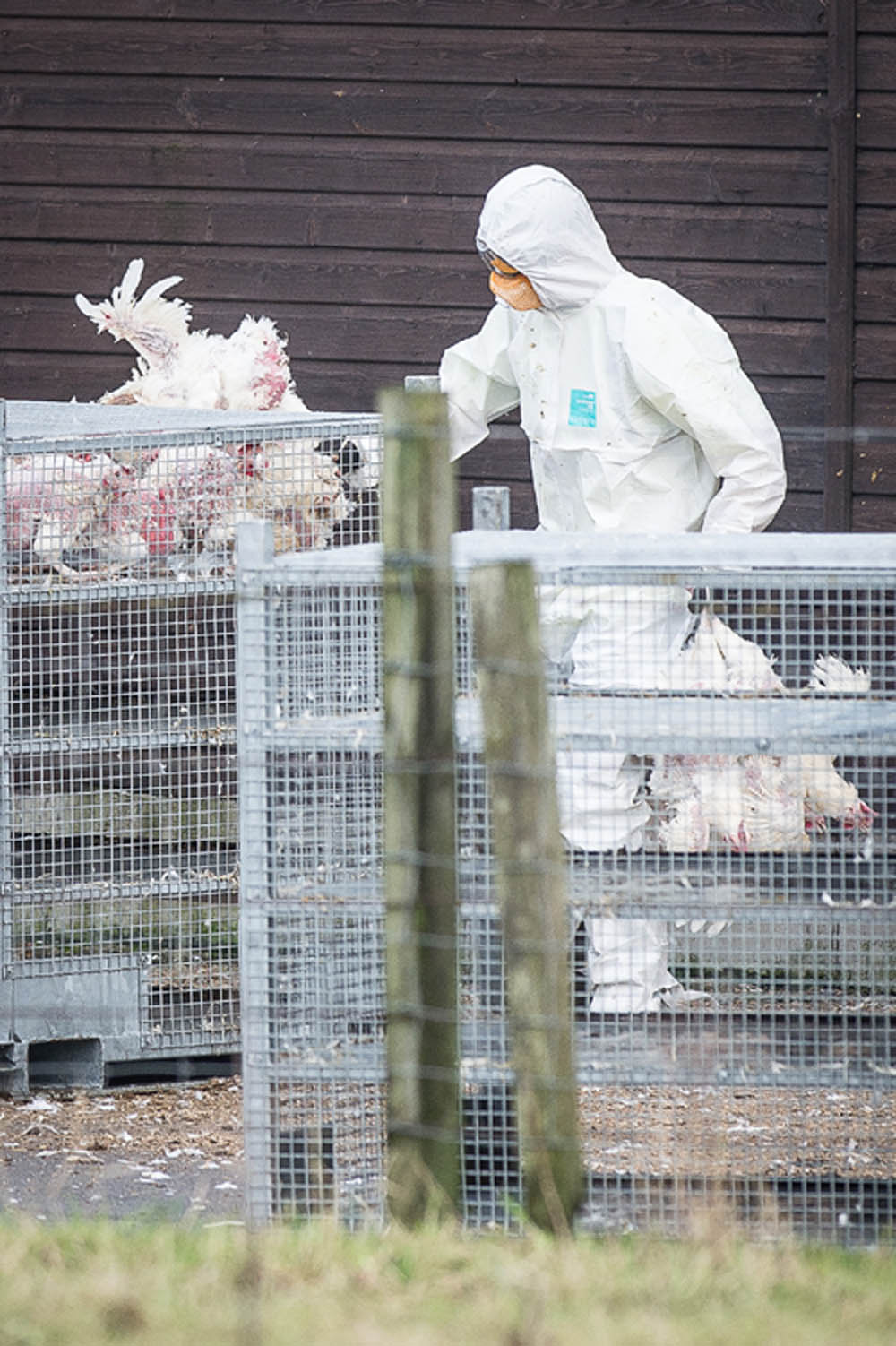 The birds being loaded into cages