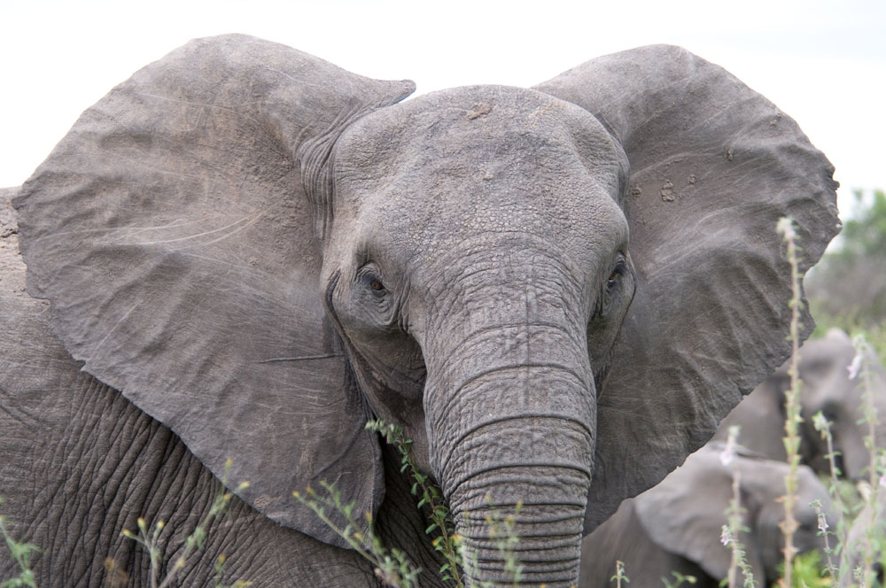 The study looked at 3,000 elephants