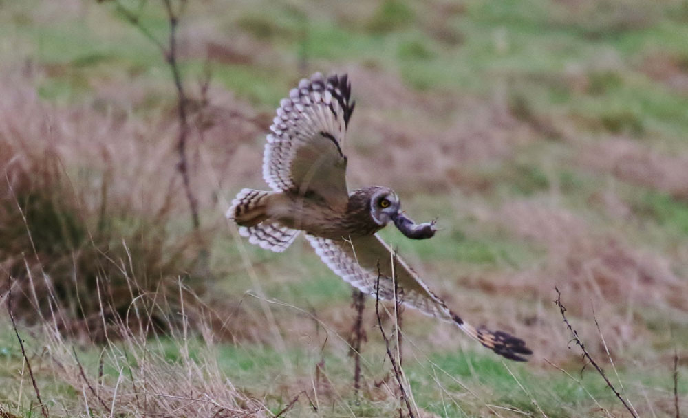 The hungry owl with its vole