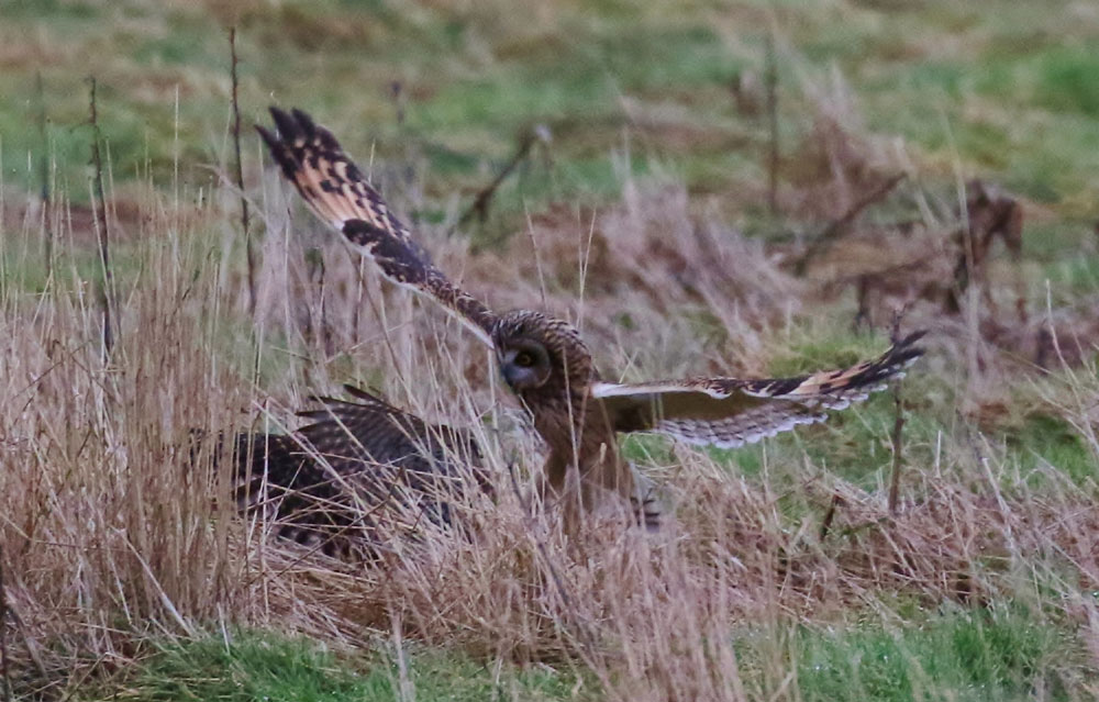 The owl had to fend off a kestrel during its meal