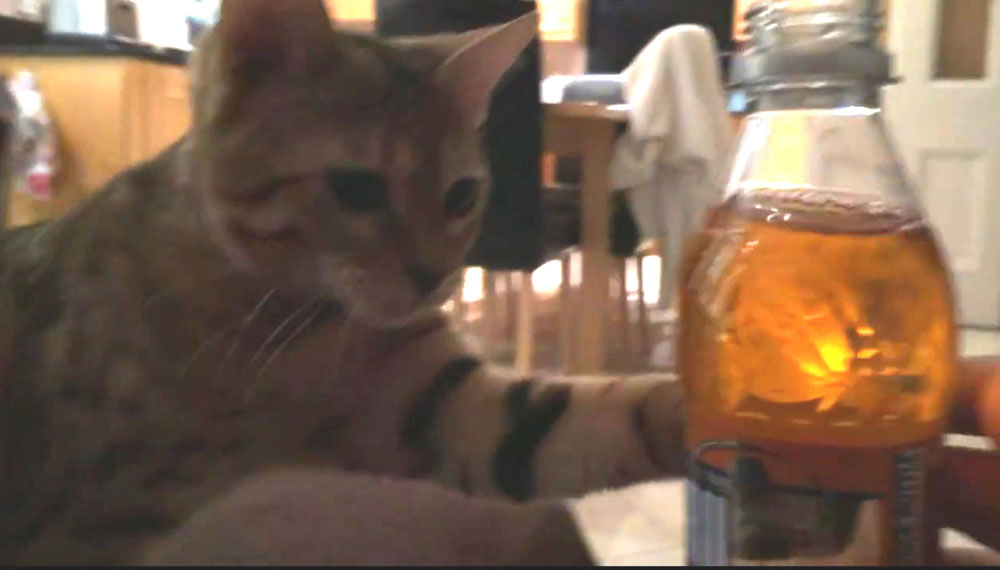Mia can't keep her paws off a bottle of Irn Bru