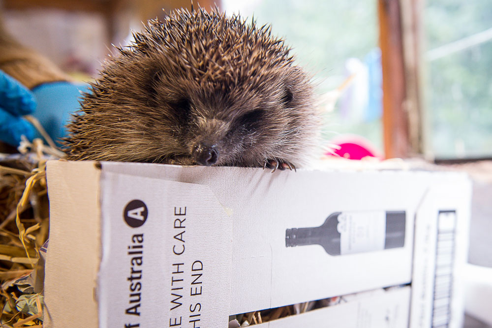 The hedgehogs like to hibernate in wine boxes