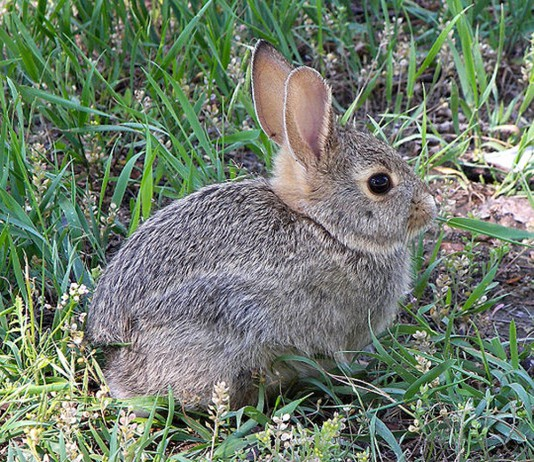 A picture of a rabbit- Health News Scotland