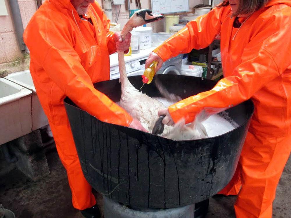 Volunteers rinsed off the female bird