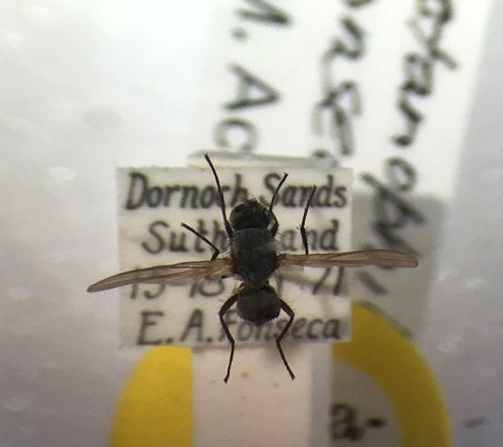 The fly is an endangered species (PIC: Natural History Museum)