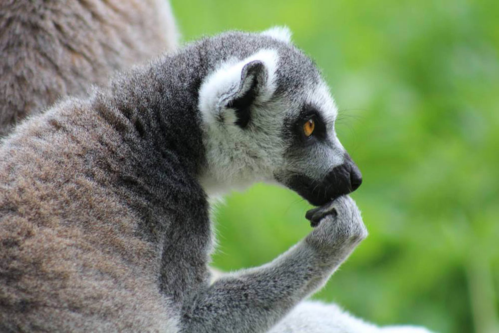 The lemur appeared to be deep in thought